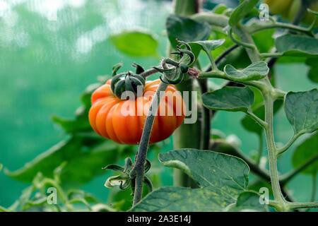 Ridged tomato tomatoes growing in a garden greenhouse UK  KATHY DEWITT - Stock Photo