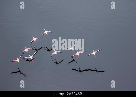 Africa, Tanzania, Aerial view of flock of Lesser Flamingos flying above salt waters of Lake Natron - Stock Photo