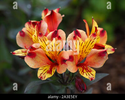 Beautiful vibrant orange and yellow Alstroemeria (Peruvian lily) flowers in a garden - Stock Photo
