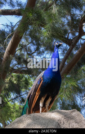 View of a peacock on top of a rock in a natural park of Barcelona - Stock Photo