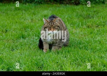 The Scottish wildcat is a European wildcat population in Scotland. - Stock Photo