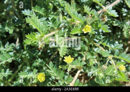 In the fringes of Landers, grows this small Southern Mojave Desert native plant, casually as Puncturevine, and botanically as Tribulus Terrestris. - Stock Photo