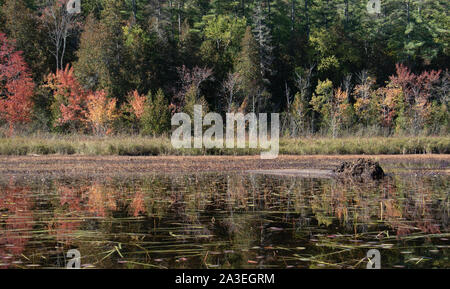 Autumn colours in mixed boreal forest of northern Ontario