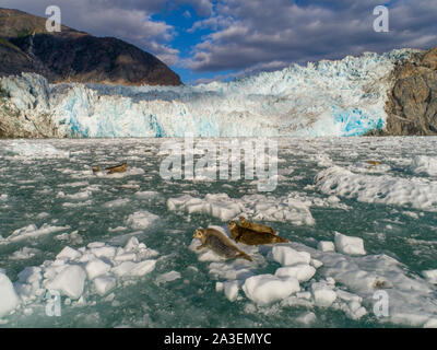 USA, Alaska, South Sawyer - Fords Terror Wilderness, Aerial view of Harbor Seals resting on icebergs calved from South Sawyer Glacier in Tracy Arm