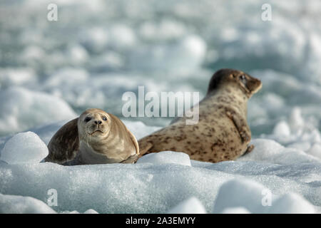 USA, Alaska, South Sawyer - Fords Terror Wilderness, Harbor Seals resting on icebergs calved from South Sawyer Glacier in Tracy Arm