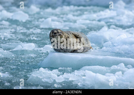 USA, Alaska, South Sawyer - Fords Terror Wilderness, Harbor Seal resting on icebergs calved from South Sawyer Glacier in Tracy Arm