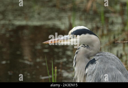 A head shot of a Grey Heron, Ardea cinerea, hunting for food in the reeds. - Stock Photo