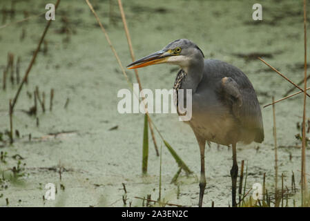 A Grey Heron, Ardea cinerea, hunting for food in the reeds at the edge of a lake. - Stock Photo