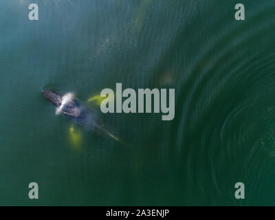 USA, Alaska, Aerial view of Humpback Whale (Megaptera novaeangliae) spout while breathing at surface of Frederick Sound on summer afternoon - Stock Photo
