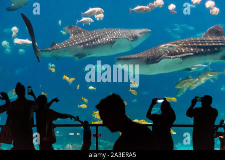 Giant whale sharks (Rhincodon typus) at the Georgia Aquarium in downtown Atlanta, Georgia. (USA) - Stock Photo