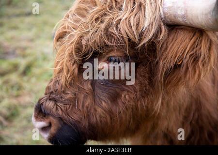High Fens Eifel Nature Park, Wallonia, Belgium, Galloway cattle, - Stock Photo