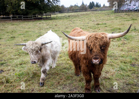 High Fens Eifel Nature Park, Wallonia, Belgium, Galloway cattle, - Stock Photo