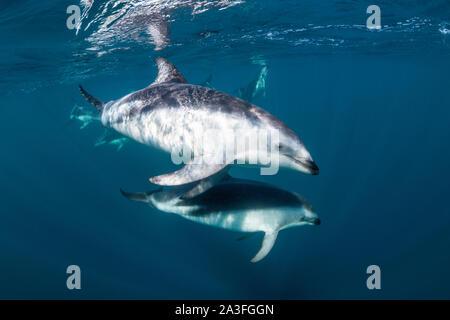 Pod of dusky dolphins, Lagenorhynchus obscurus, near the surface, Nuevo Gulf, Valdes Peninsula, Argentina. - Stock Photo