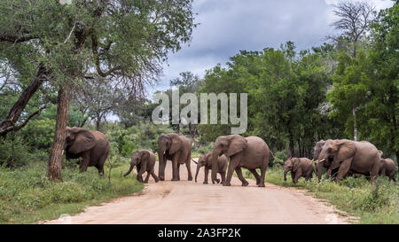 African bush elephant small family group crossing safari road in Kruger National park, South Africa ; Specie Loxodonta africana family of Elephantidae - Stock Photo