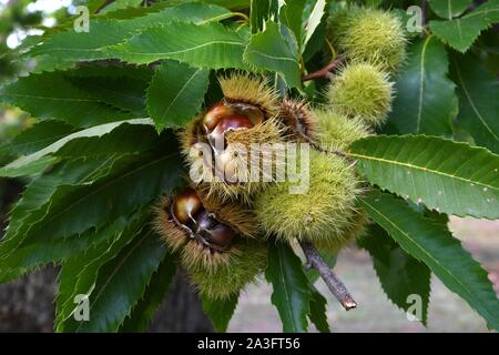detail of chestnuts on the branches in a beautiful chestnut forest in Tuscany during the autumn season before the harvest. Italy. - Stock Photo