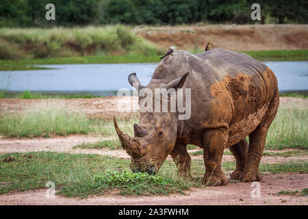 Southern white rhinoceros in Hlane royal National park, Swaziland ; Specie Ceratotherium simum simum family of Rhinocerotidae - Stock Photo