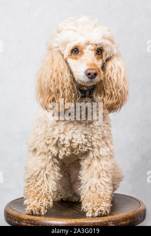 Creamy poodle sitting on the chair on white background - Stock Photo