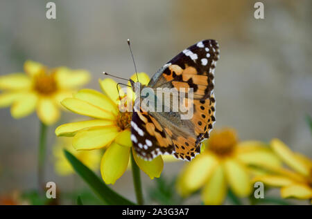 A painted lady butterfly sipping nectar from a flower
