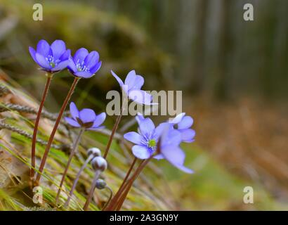 Hepatica, liverleaf, or liverwort in the forest. Hepatica is a genus of herbaceous perennials in the buttercup family. Macro photo. Spring time concep - Stock Photo