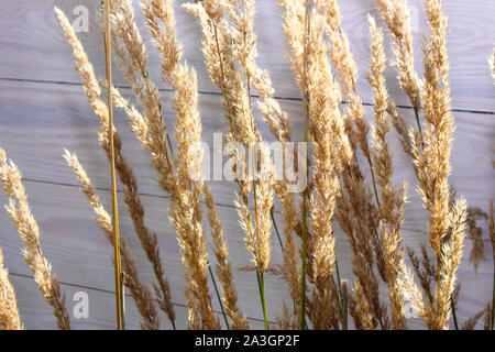Yellow grass, dried plants of cereal weeds in front of wooden wall