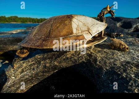 Colombia, Llanos, Vichada, Tambora, Tuparro National Park, turtle skeleton - Stock Photo