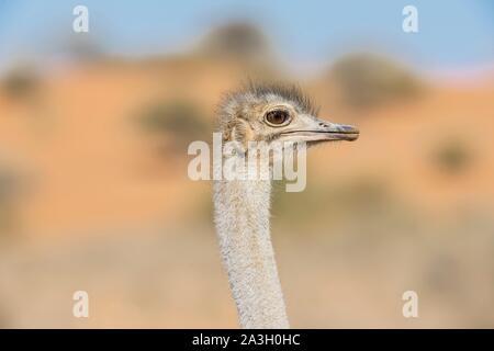 Namibia, Hardap province, Bagatelle Kalahari reserve, Common Ostrich - Stock Photo