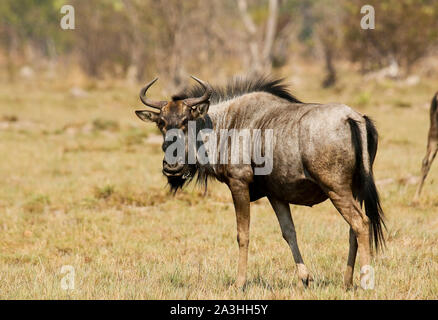 Black wildebeest or white-tailed gnu (Connochaetes gnou) in Busanga Plains. Kafue National Park. Zambia - Stock Photo