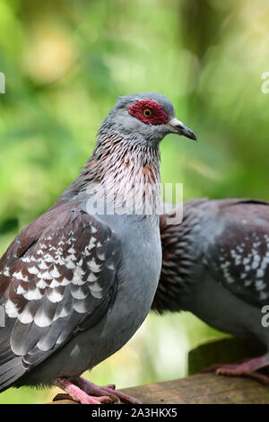 Close up of a speckled pigeon (columba guinea) with a green background - Stock Photo