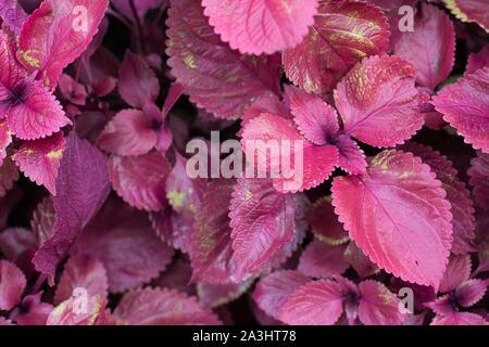 Plectranthus scutellarioides 'Redhead' coleus. - Stock Photo