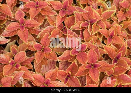 Plectranthus scutellarioides 'Rustic Orange' coleus. - Stock Photo