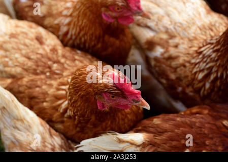 Brown female chickens photographed in a flock from above