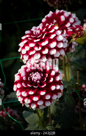 Dahlia Checkers in flower in September in UK - Stock Photo