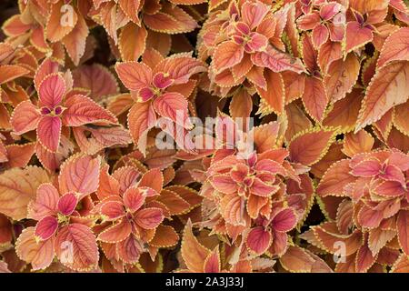 Plectranthus scutellarioides 'Rustic Orange' coleus. - Stock Photo