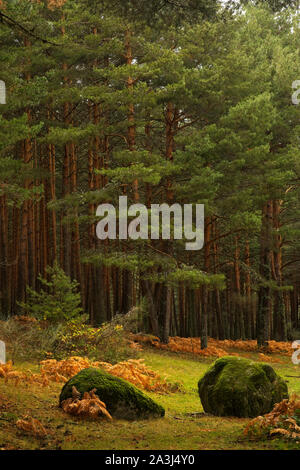 Valsain forests on the northern slope of the Sierra de Guadarrama crowned by the ports of Navacerrada and Fuenfría, Segovia, Madrid. Spain - Stock Photo