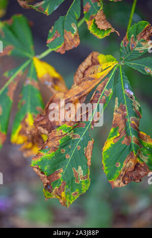 Horse Chestnut Tree leaves (Aesculus hippocastanum). Leaf blotch. Caused by fungus (Guignardia aesculi). Colourful but not seriously damaging. - Stock Photo