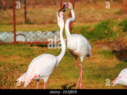 A pair of Greater Flamingos (Phoenicopterus roseus) - Stock Photo