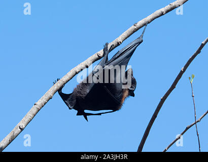 A Black Flying Fox (Pteropus alecto), Ravenswood, Queensland, QLD, Australia - Stock Photo