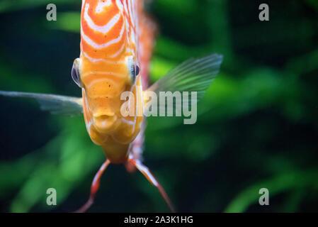 Tropical freshwater discus fish (Symphysodon aequifasciatus), native to the Amazon River Basin, at the Georgia Aquarium in Atlanta, Georgia. (USA) - Stock Photo