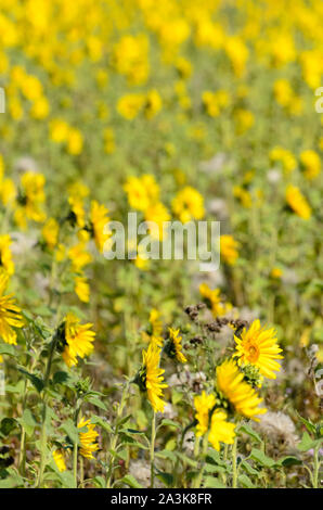 Helianthus, Sunflower field in summertime - Stock Photo