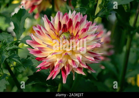 Colourful close up of a red and yellow multi coloured german Dahliendorf Legden dahlia in bright sunshine - Stock Photo