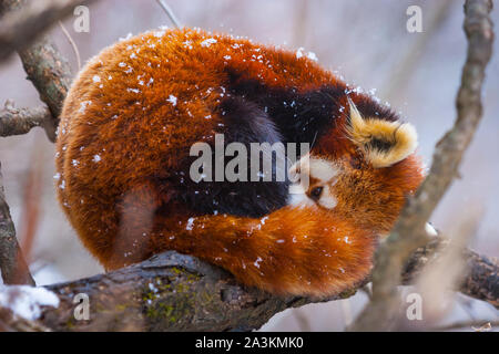 Red panda (Ailurus fulgens), also called lesser panda, red bear-cat, and red cat-bear - Stock Photo