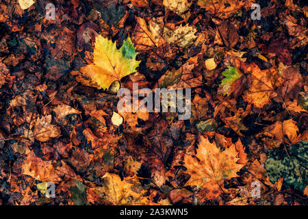 Top view of wet maple leaves on the ground after autumn rain as background - Stock Photo