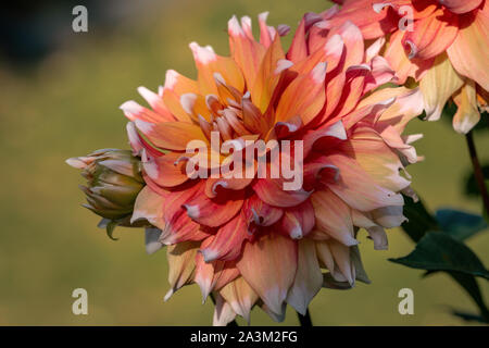 Detailed close up of a beautiful orange and red Seattle dahlia flower blooming in bright sunshine - Stock Photo