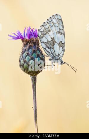 Marbled white (Melanargia galathea) female butterfly sits upside down in resting position on greater knapweed (Centaurea scabiosa) flower. - Stock Photo