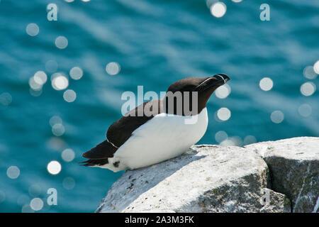 Razorbill (Alca torda) seabird on Isle of May. - Stock Photo