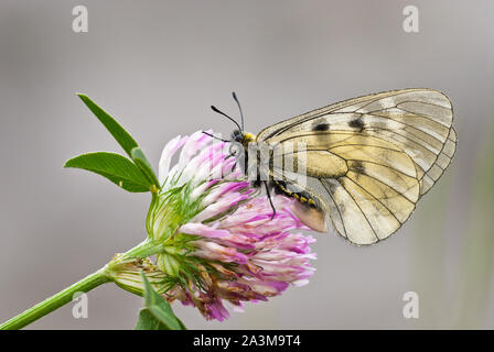Clouded Apollo (Parnassius mnemosyne) female black and white butterfly resting on red clover (Trifolium pratense). - Stock Photo