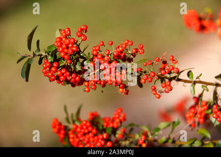 Red berries on a Pyracantha or Firethorn bush. - Stock Photo
