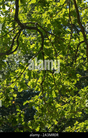 Oak (Quercus robur) overhanging branches and green overlapping leaves backlit on a bright and sunny day in late summer, September - Stock Photo