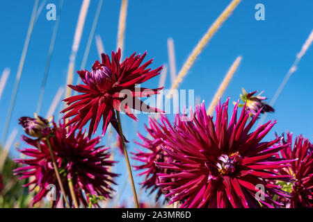 Detailed close up of beautiful Gerry Scott cactus dahlias flowers blooming in bright sunshine - Stock Photo