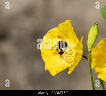 Buff tailed bumblebee in a welsh poppy. A large pollen sac is visible on the bee's legs. - Stock Photo